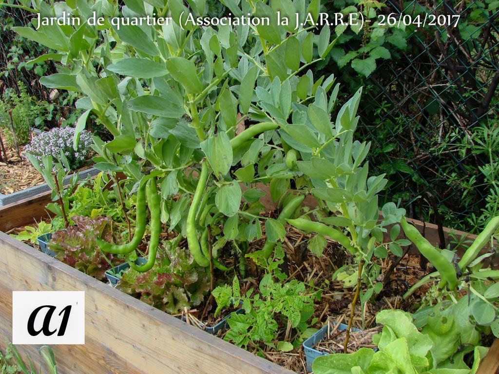 Bac A1 - Fève - batavia -patate - bouture fruitier - Jardin de Quartier - 26 avril 2017-5