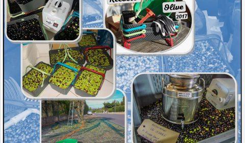 Collecte des olives communales - association la jarre écocitoyenne - novembre 2017