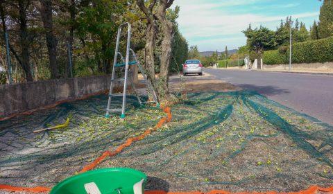 Récolte olive Montée des oliviers - asso la JARRE - 03-11-2017