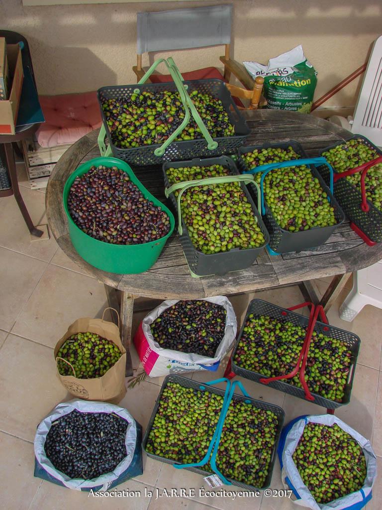 Récolte olive n2 - 109Kg - Asso la JARRE Écocitoyenne - 04-11-2017