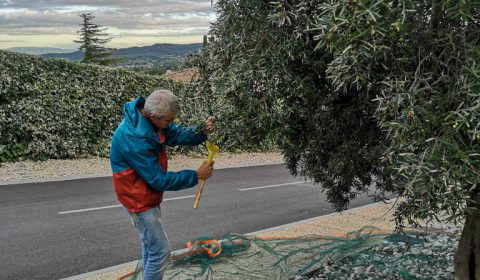 Récolte des olives la JARRE - Patrice C