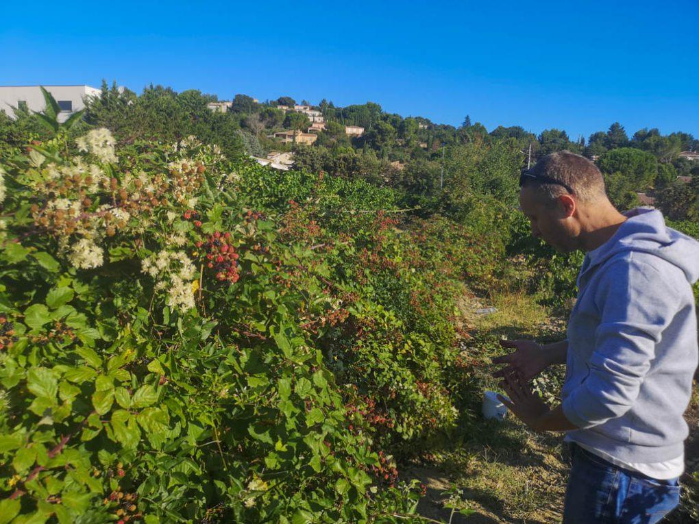 Cueillette des mûres à Rochefort du Gard - association la jarre - David G