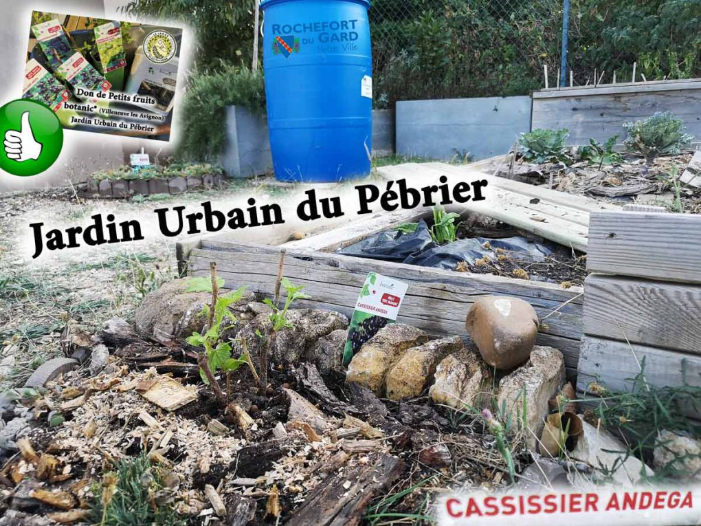 Cassissier-Andega-jardin-urbain-du-pebrier-association-la-jarre-ecocitoyenne-rochefort-du-gard