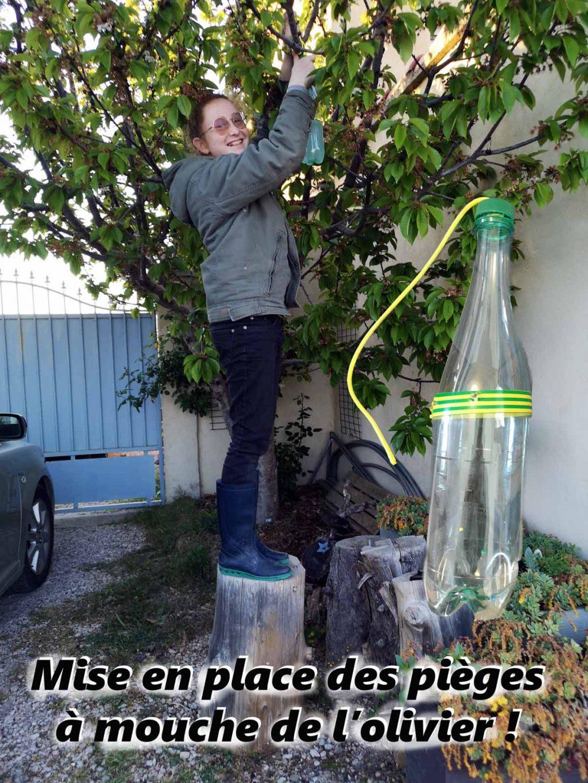 Mise en place des pièges mouche olivier et cerisier